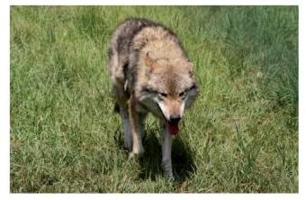 zwergalarm-poing-Wolf